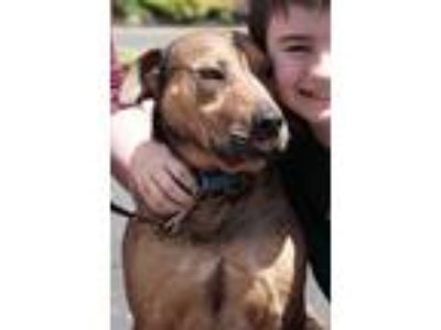 Adopt JAKE a Black - with Tan, Yellow or Fawn Shepherd (Unknown Type) / Labrador