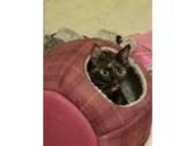 Adopt Bolt a Black (Mostly) Calico cat in Chunchula, AL (25036162)
