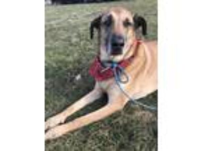 Adopt Gunner a Red/Golden/Orange/Chestnut Belgian Malinois / Mixed dog in