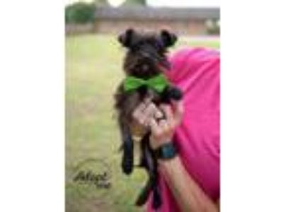Adopt Chipper a Affenpinscher, Yorkshire Terrier