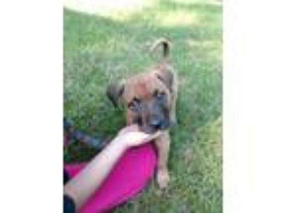 Adopt Brodie a Boxer, Shepherd