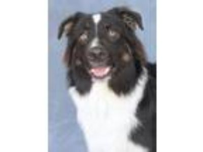 Adopt Saint Barts a Black - with White Australian Shepherd / Mixed dog in