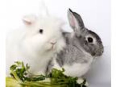 Adopt Snowflake & BunBun a White Lionhead / Mixed (short coat) rabbit in