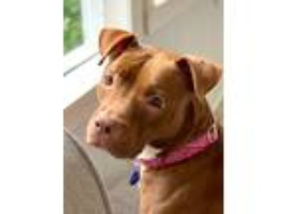 Adopt Abby a Brown/Chocolate Labrador Retriever / Pit Bull Terrier / Mixed dog