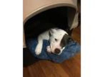 Adopt Moomu a Black - with White American Pit Bull Terrier dog in Buena Park