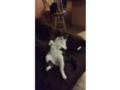 Adopt Greyson a Gray, Blue or Silver Tabby Domestic Shorthair / Mixed cat in