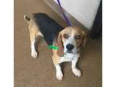 Adopt George Strait a Brown/Chocolate Beagle / Mixed dog in Cumming