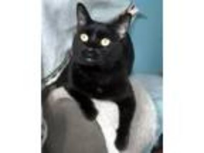 Adopt Antigua a Domestic Short Hair