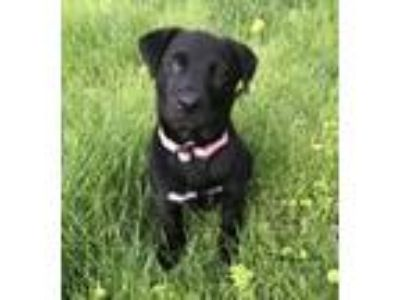 Adopt Lab pups a Black - with White Labrador Retriever / Mixed Breed (Large) /