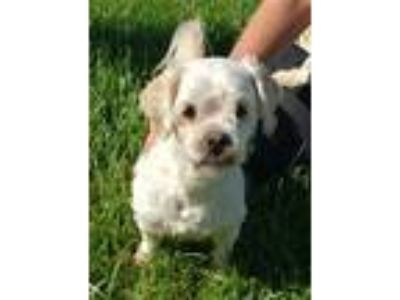 Adopt COCO a White Poodle (Miniature) / Mixed dog in Fairfield, CA (25356150)