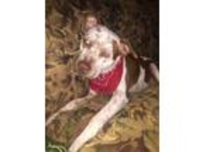 Adopt Duke a Tan/Yellow/Fawn - with White American Pit Bull Terrier / Labrador