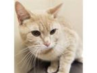 Adopt Lincoln a Domestic Shorthair / Mixed cat in Spokane Valley, WA (25263247)