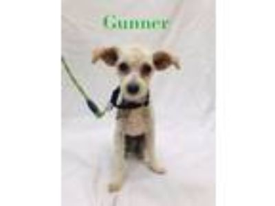 Adopt Gunner a Poodle