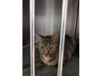 Adopt Tully a Domestic Shorthair / Mixed (short coat) cat in Mocksville