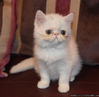 Pedigree Exotic Kitten For Sale