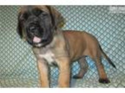 AKC registered female English Mastiff puppy (Nala)