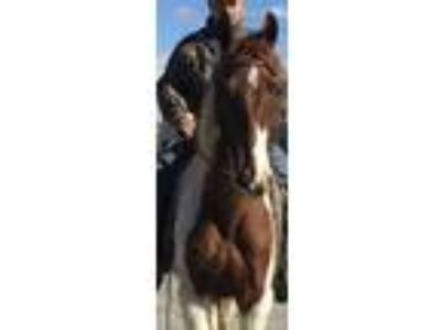 Adopt Captain a Tennessee Walker