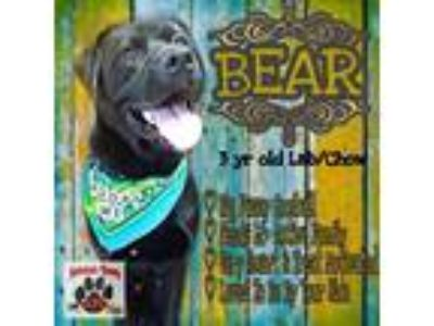 Adopt Bear a Black Labrador Retriever / Chow Chow / Mixed dog in Ashtabula