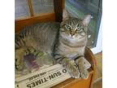 Adopt Remo a Brown or Chocolate Domestic Shorthair cat in Northbrook