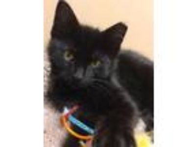 Adopt Ivy a All Black Domestic Shorthair / Domestic Shorthair / Mixed cat in