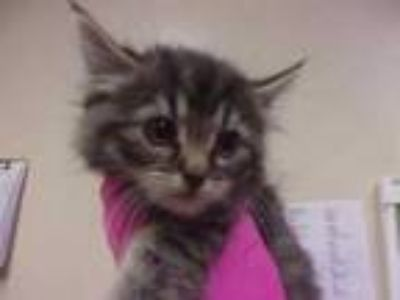 Adopt Maddie a Gray or Blue Domestic Mediumhair / Domestic Shorthair / Mixed cat