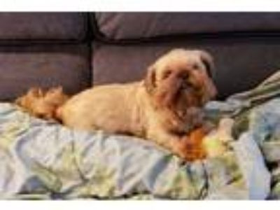 Adopt Sonny a Red/Golden/Orange/Chestnut - with Black Shih Tzu / Mixed dog in