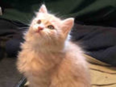 Adopt *CHICKEN NUGGET a Cream or Ivory (Mostly) Domestic Shorthair / Mixed
