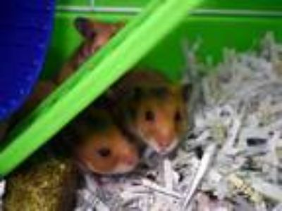 Adopt CHIQUITA a Hamster