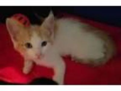 Adopt Anafi a Domestic Short Hair