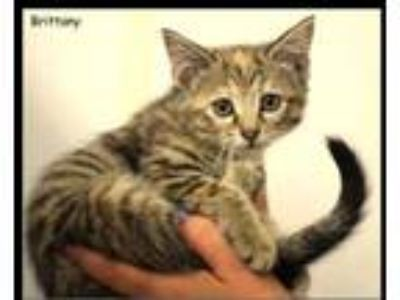 Adopt Brittany a Tan or Fawn Domestic Shorthair / Domestic Shorthair / Mixed cat