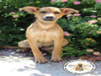 Adopt a Brown/Chocolate - with Tan German Shepherd Dog / Mixed dog in