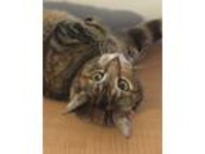 Adopt Madge a Brown Tabby Domestic Shorthair (short coat) cat in Essington