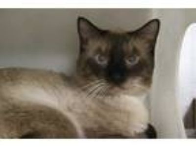 Adopt RICO a Brown or Chocolate (Mostly) Domestic Shorthair / Mixed (short coat)