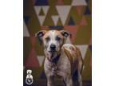 Adopt Bonnie a White - with Tan, Yellow or Fawn Australian Cattle Dog / Pointer