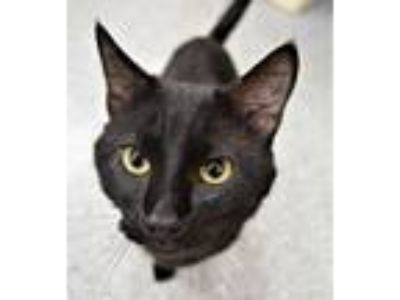 Adopt Roscoe a Domestic Short Hair