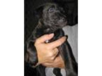 Adopt Vira a Black Labrador Retriever / Pit Bull Terrier / Mixed dog in