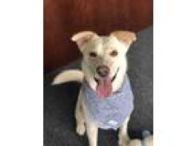 Adopt Bailey a White - with Tan, Yellow or Fawn Cattle Dog / Husky / Mixed dog
