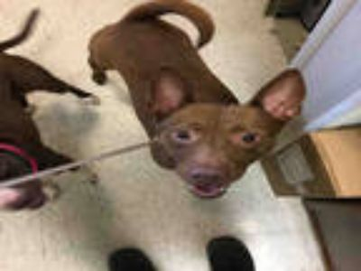 Adopt GINGER a Brown/Chocolate Basenji / Mixed dog in Plano, TX (25558419)