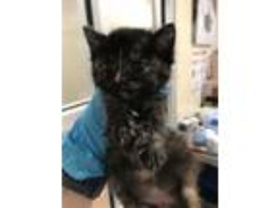 Adopt Bean a Domestic Short Hair