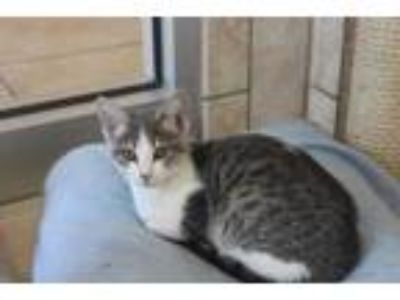 Adopt Jaspurr a Gray or Blue Domestic Shorthair / Domestic Shorthair / Mixed cat