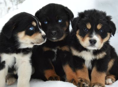 Siberian Husky & German Shepherd Puppies