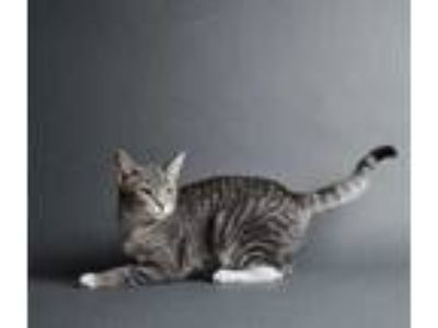 Adopt Mint Chip a Gray or Blue Domestic Shorthair / Domestic Shorthair / Mixed