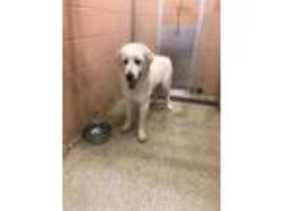 Adopt 41753533 a White Great Pyrenees / Mixed dog in Balch Springs