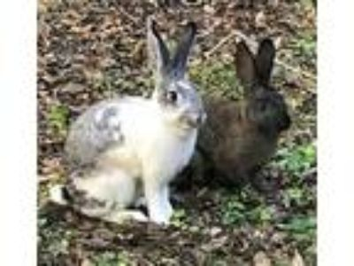 Adopt Bonnie & Clyde a Grey/Silver Checkered Giant / Mixed (short coat) rabbit