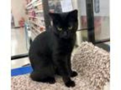 Adopt Curly Girl a Domestic Short Hair