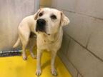 Adopt FIFI a White - with Tan, Yellow or Fawn Labrador Retriever / Mixed dog in