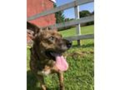 Adopt Loni a Brindle - with White American Pit Bull Terrier / Cattle Dog / Mixed
