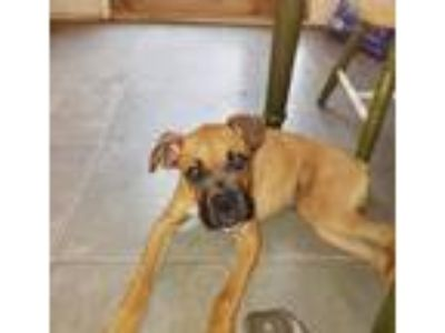 Adopt Andrew a Tan/Yellow/Fawn Boxer / Mixed dog in Lancaster, PA (25866770)
