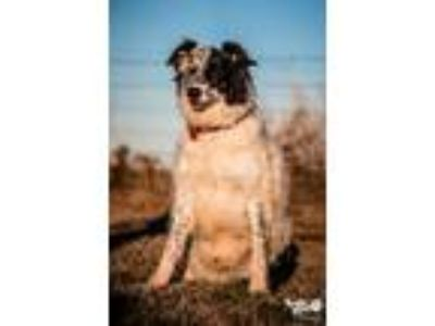 Adopt Phoenix a Border Collie