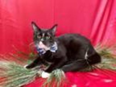 Adopt Gulliver a Domestic Short Hair